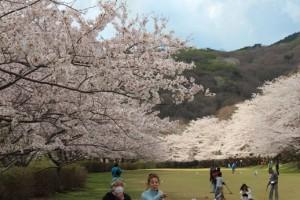 クロカン桜