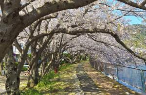 本郷公園桜