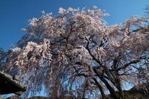 船原小学校桜