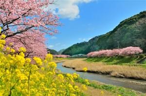 1みなみの桜と菜の花まつりです。